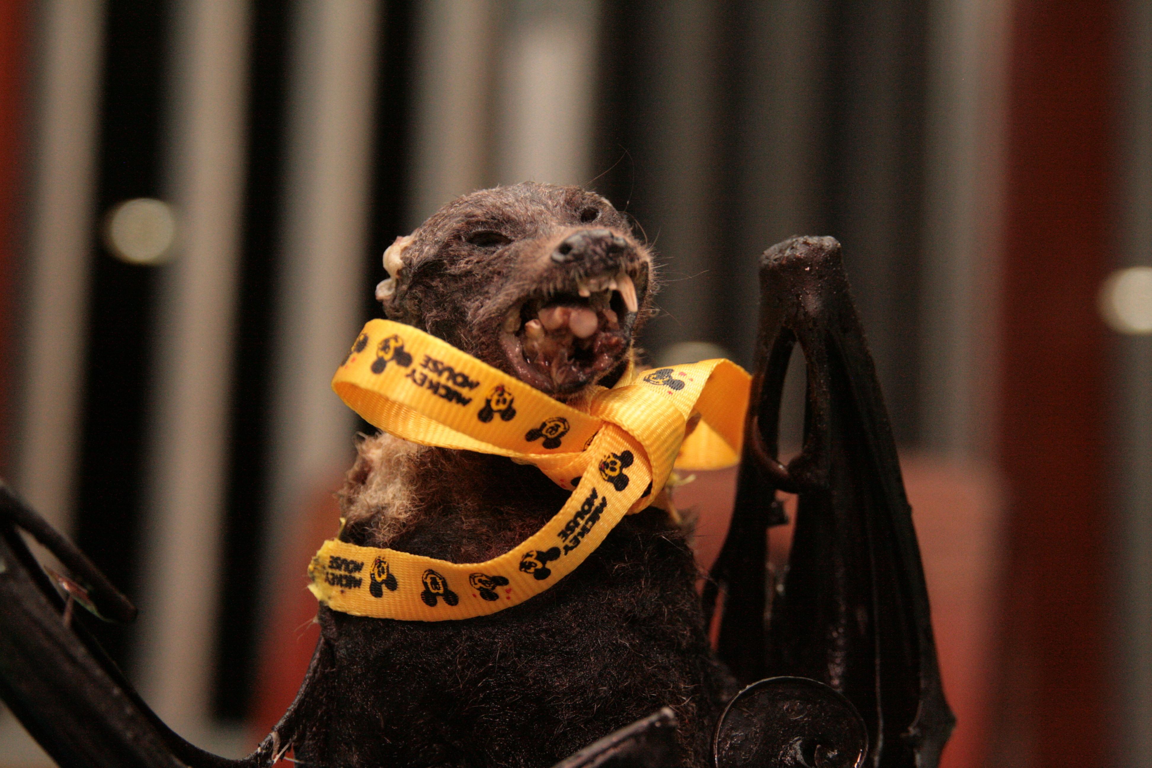 Eine fruit bat - ein Flughund, hier zu Vorzeigezwecken von dem Gastronom mit einem Schleifchen versehen