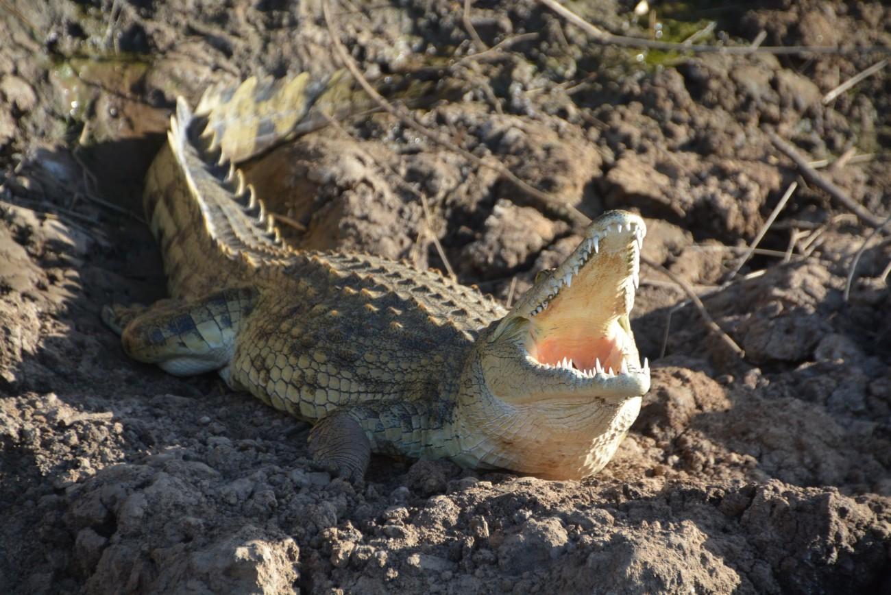 Das Krokodil gehört nicht zu den Big Five, ist aber dennoch imposant