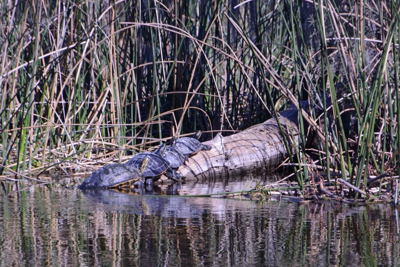 Seltsamer Sinn für Geselligkeit: Schnappschildkröten auf einem Baumstamm