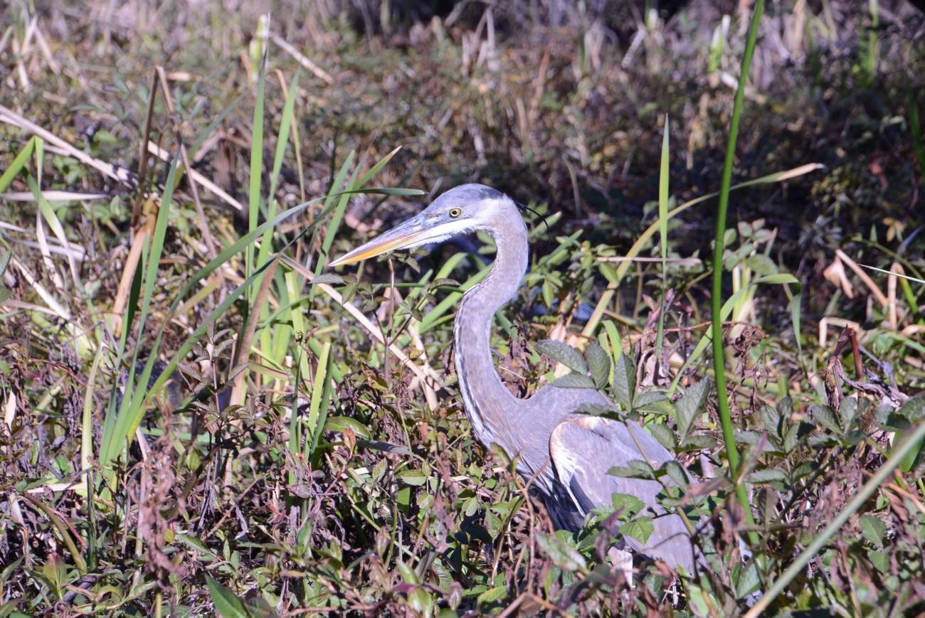 Majestät des Sumpflandes: Der Blue Heron wird bis zu 125 Zentimeter groß