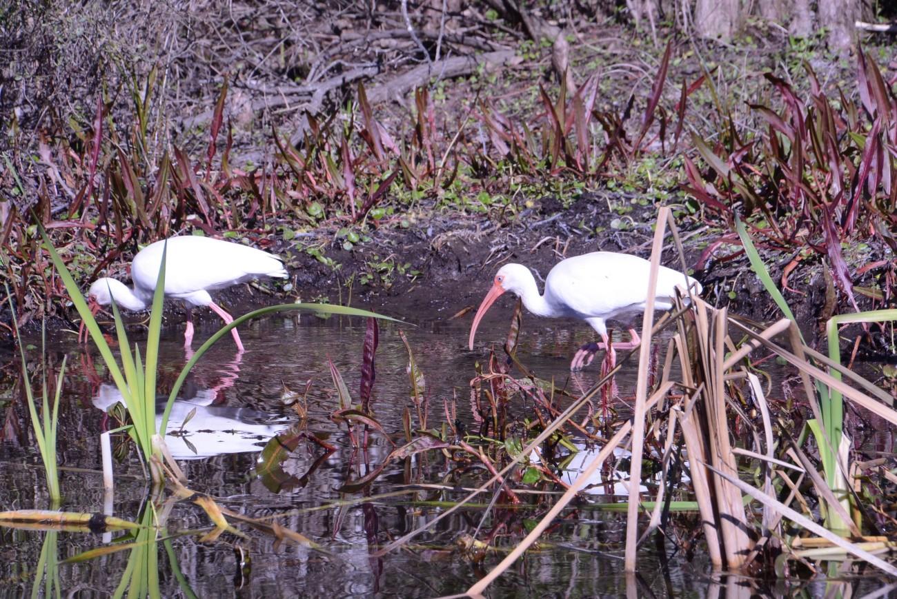 Unbeeindruckt von den Alligatoren: Weiß-Ibisse tapern durch die Uferlandschaft