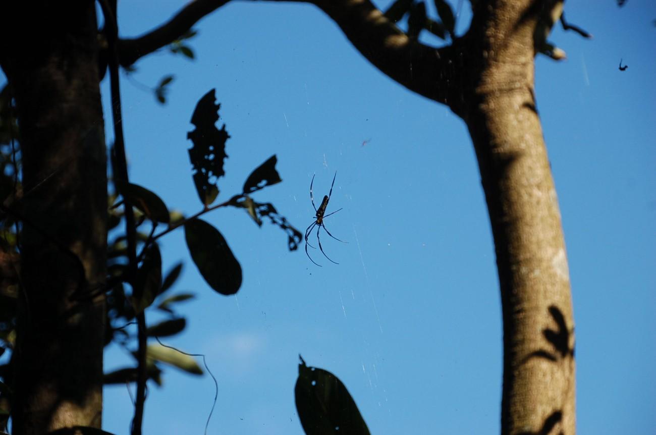 Es wimmelt vor riesigen Seidenspinnen auf Lamma Island