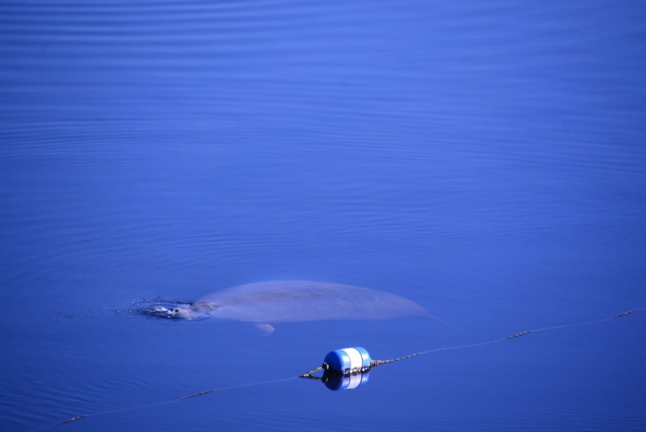 Bis vor Kurzen allerdings sind die Amis meist achtlos mit ihren Motorbooten über die Manatees hinweggebürstet