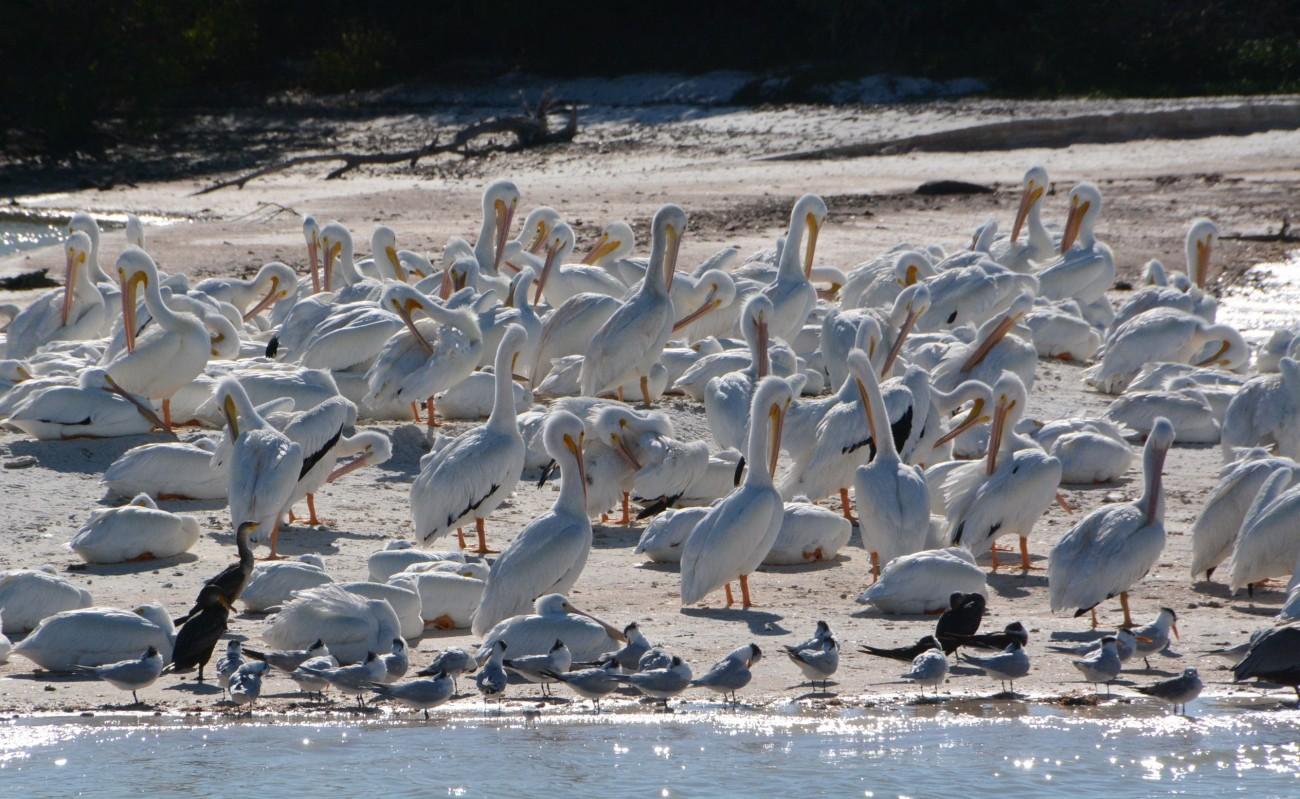 Noch ein Lieblingsmoment: Begegnung mit einer Kolonie Weißpelikane in den 10 000 Islands
