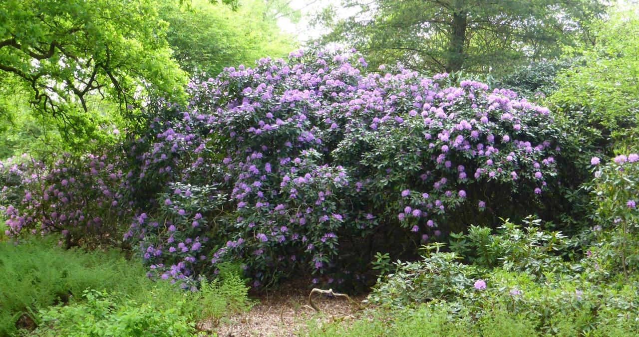 Rhododendron galore: Im Frühjahr zeigt sich die Natur geradezu verschwerisch