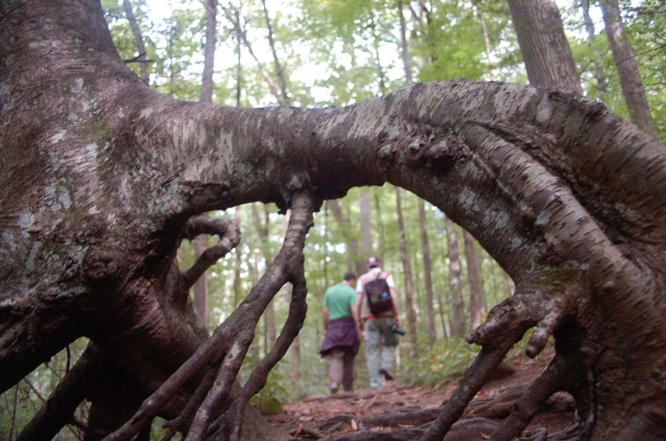 Wanderer mit Baumwurzel in den Great Smoky Mountains