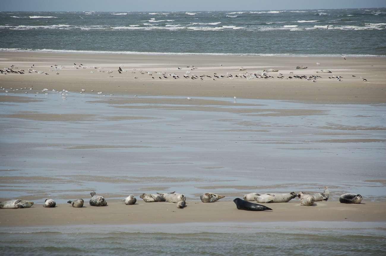Auf den Sandbänken im Wattenmeer lassen es sich die Robben gut gehen