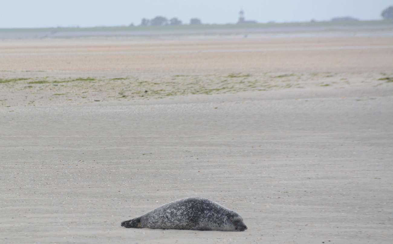 Eine einzelne Kegelrobbe faulenzt auf einer Sankbank vor der niederländischen Nordseeinsel Texel