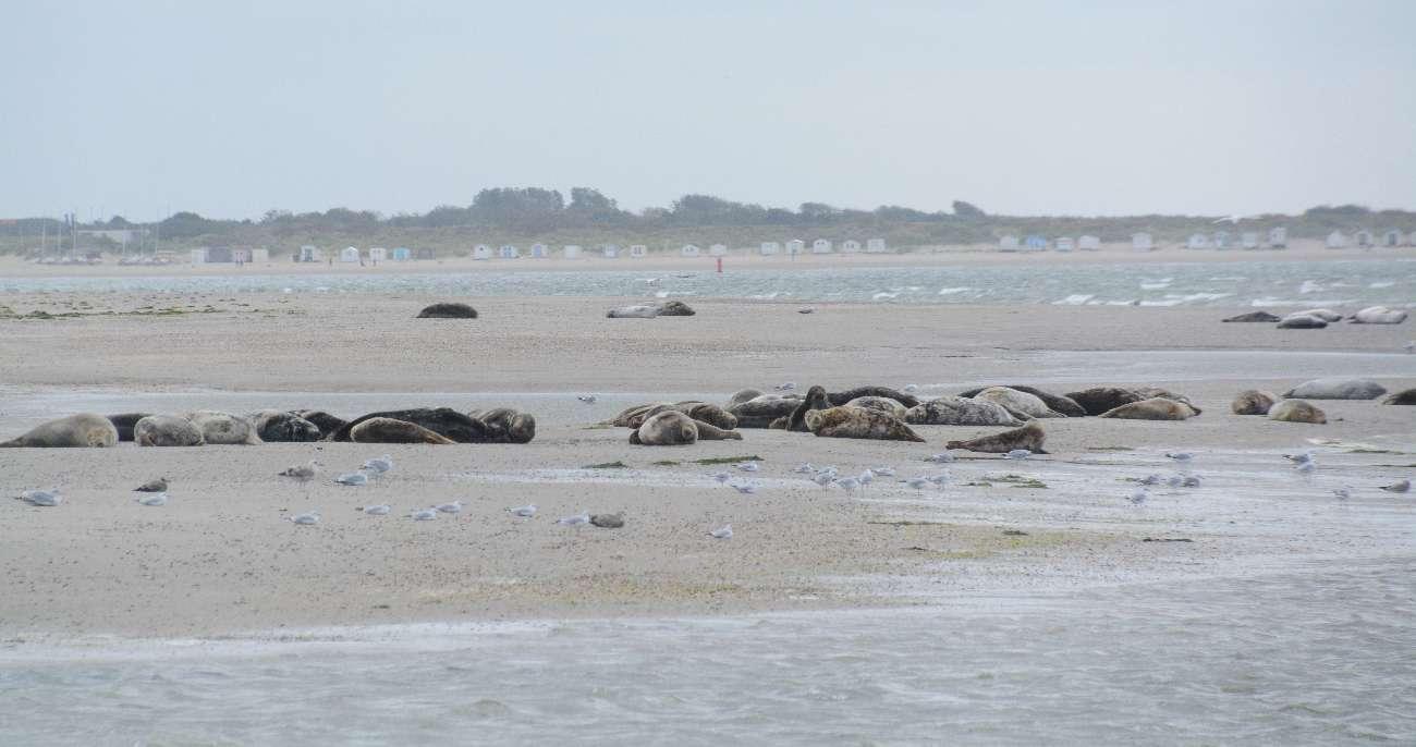 Seehunde auf einer Sandbank vor Texel mit Blickkontakt zu den Strandhäusern