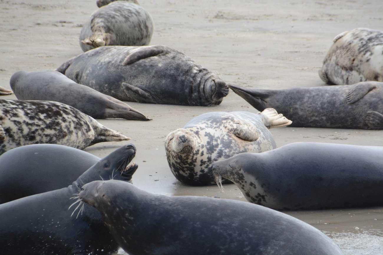 Seehunde halten auf einer Sandbank ihre Nasen in die Sonne