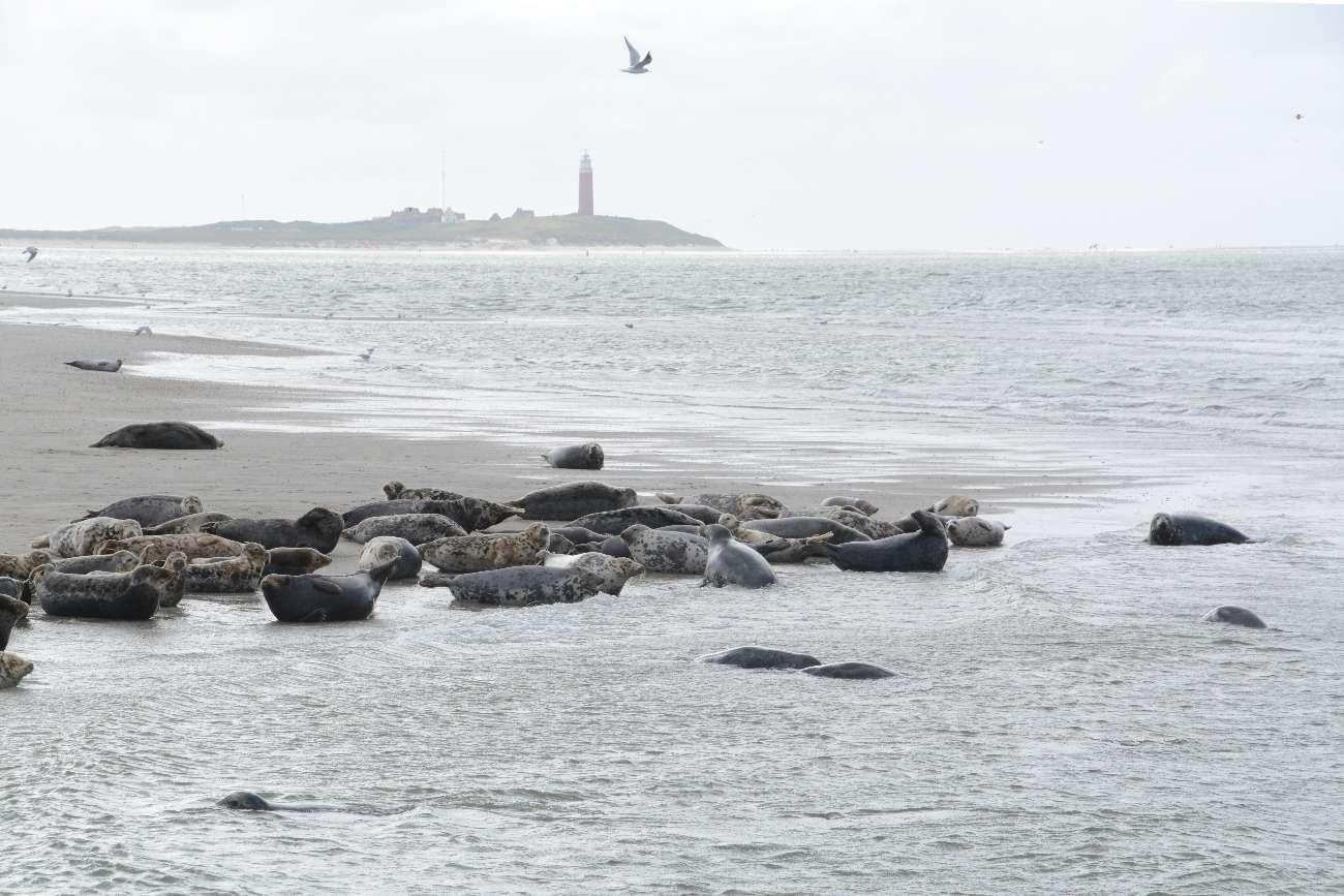 Seehunde auf einer Sandbank vor der niederländischen Nordseeinsel Texel mit dem Leuchtturm von De Cocksdorp