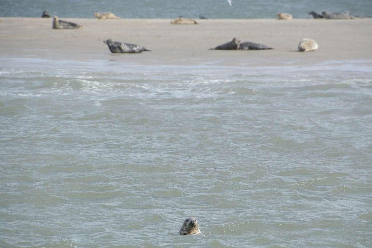 Begegnung mit einer Robbe während einer Bootstour auf Texel