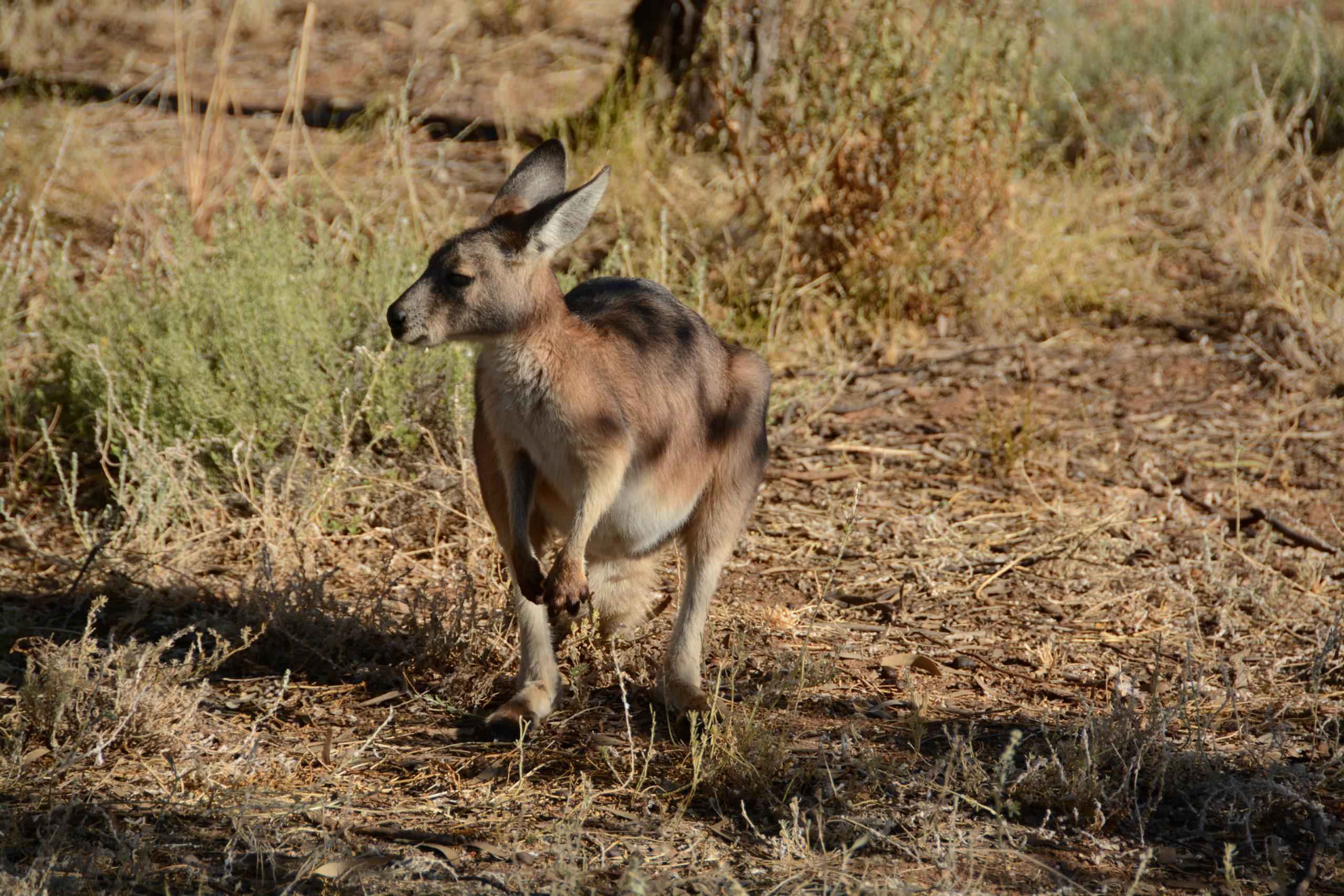 Wallabe oder Känguru? Diese Frage stellt sich in Alice Springs