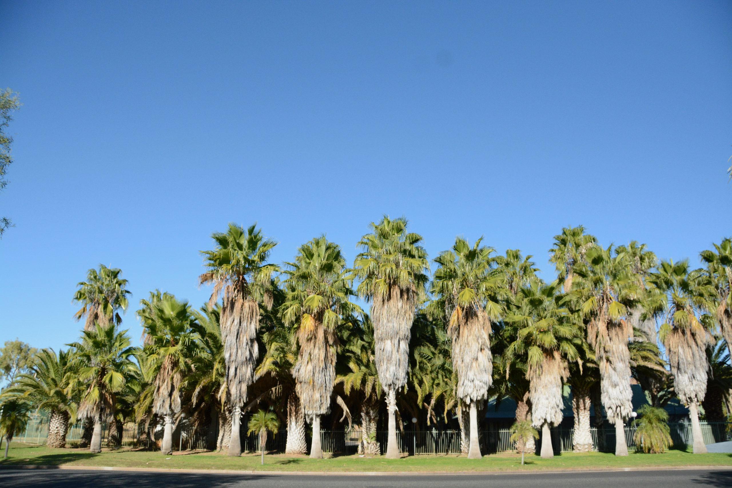 Palemkolonie während des Mittags im australischen Alice Springs