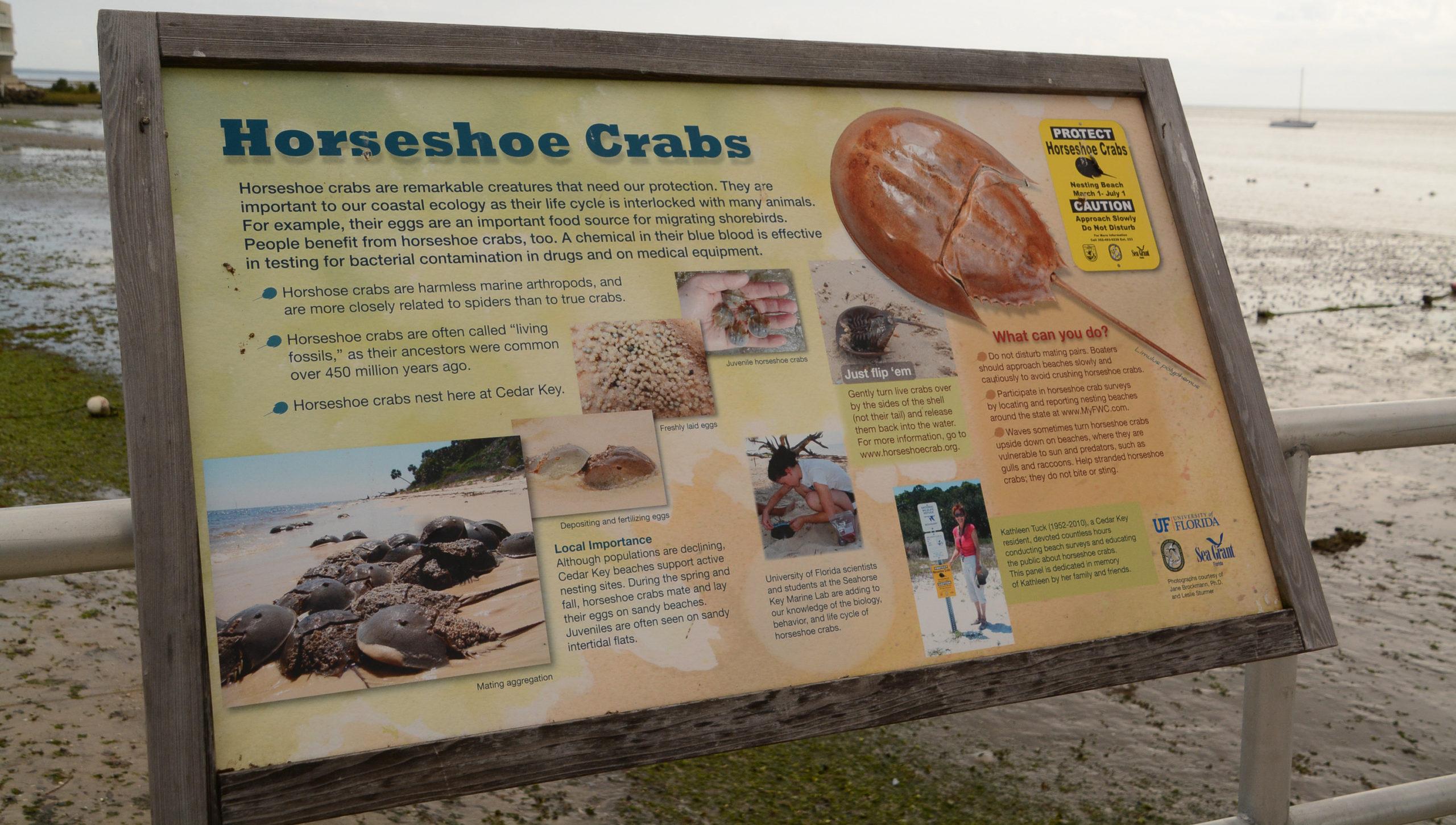 Pfeilschwanzkrebse sind auf Cedar Key in Florida weit verbreitet