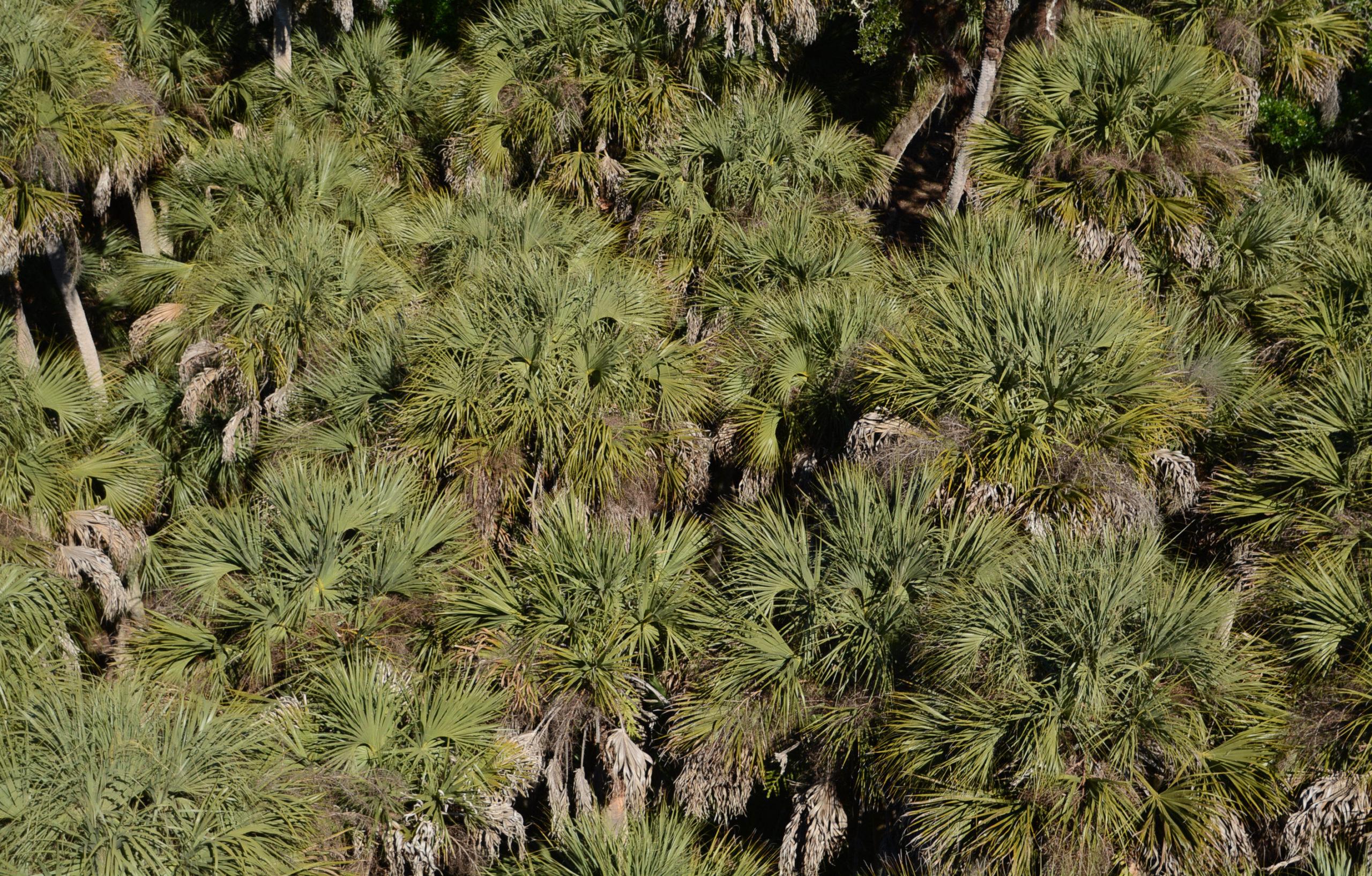 Königspalmen im Myakka State Park in Florida aus der Luft gesehen