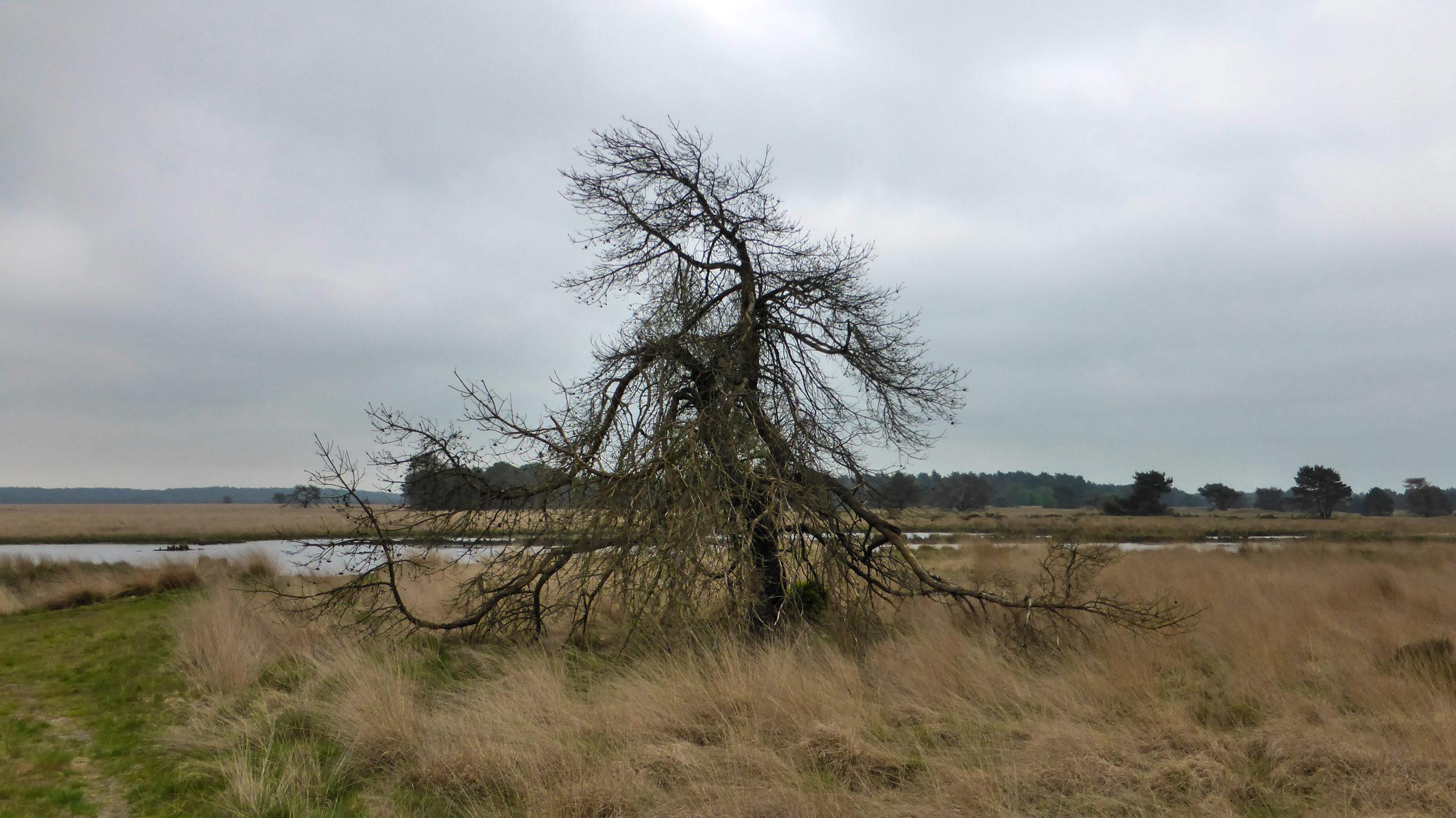 Skelett eines Baumes im Nationalpark Hoge Veluwe