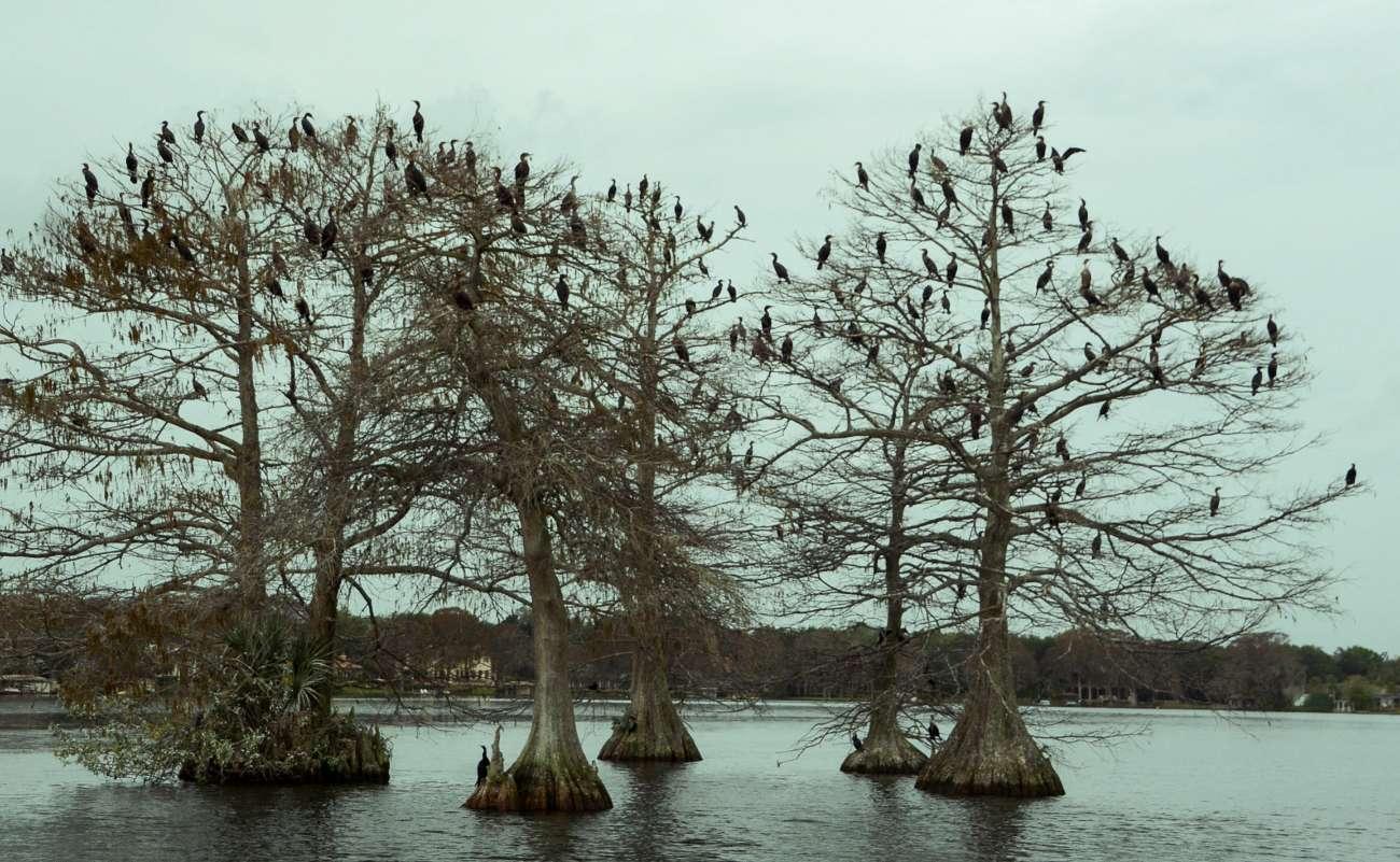 Sumpfzypressen auf dem Lake Osceola in Winter Park mit Kormoranen