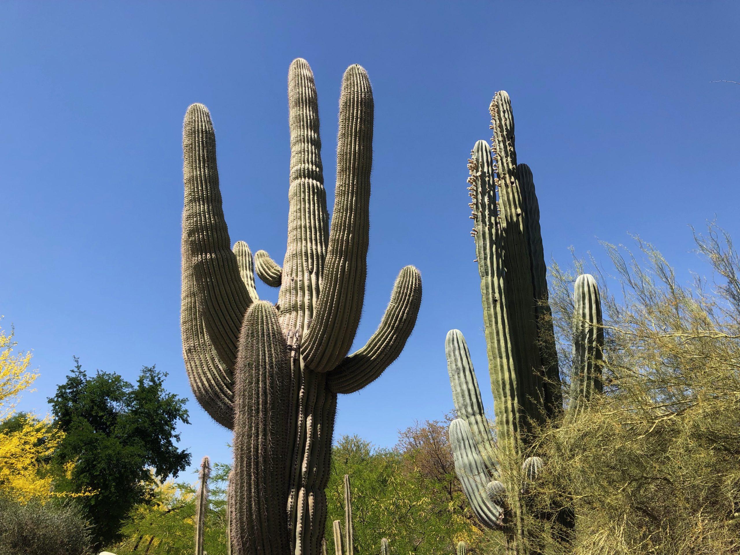Saguaro Kakteen in Arizona mit blauem Himmel.