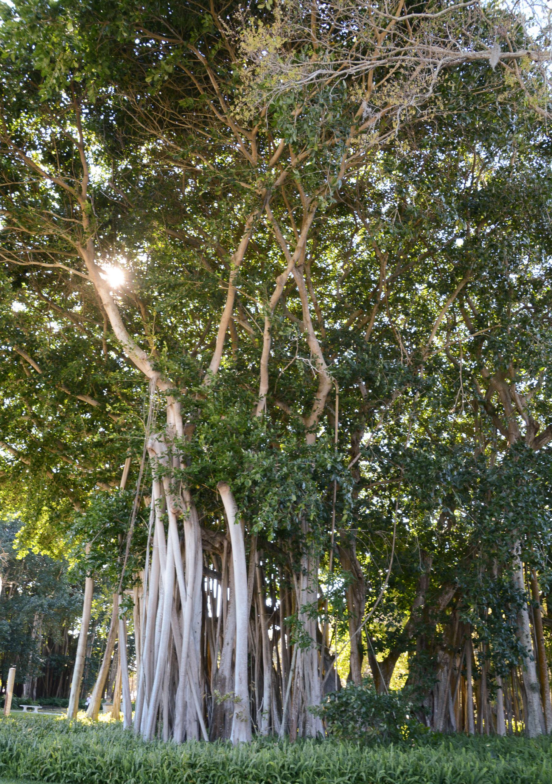 Wanderfeigen im Garten von The Ringling in Sarasota in Florida