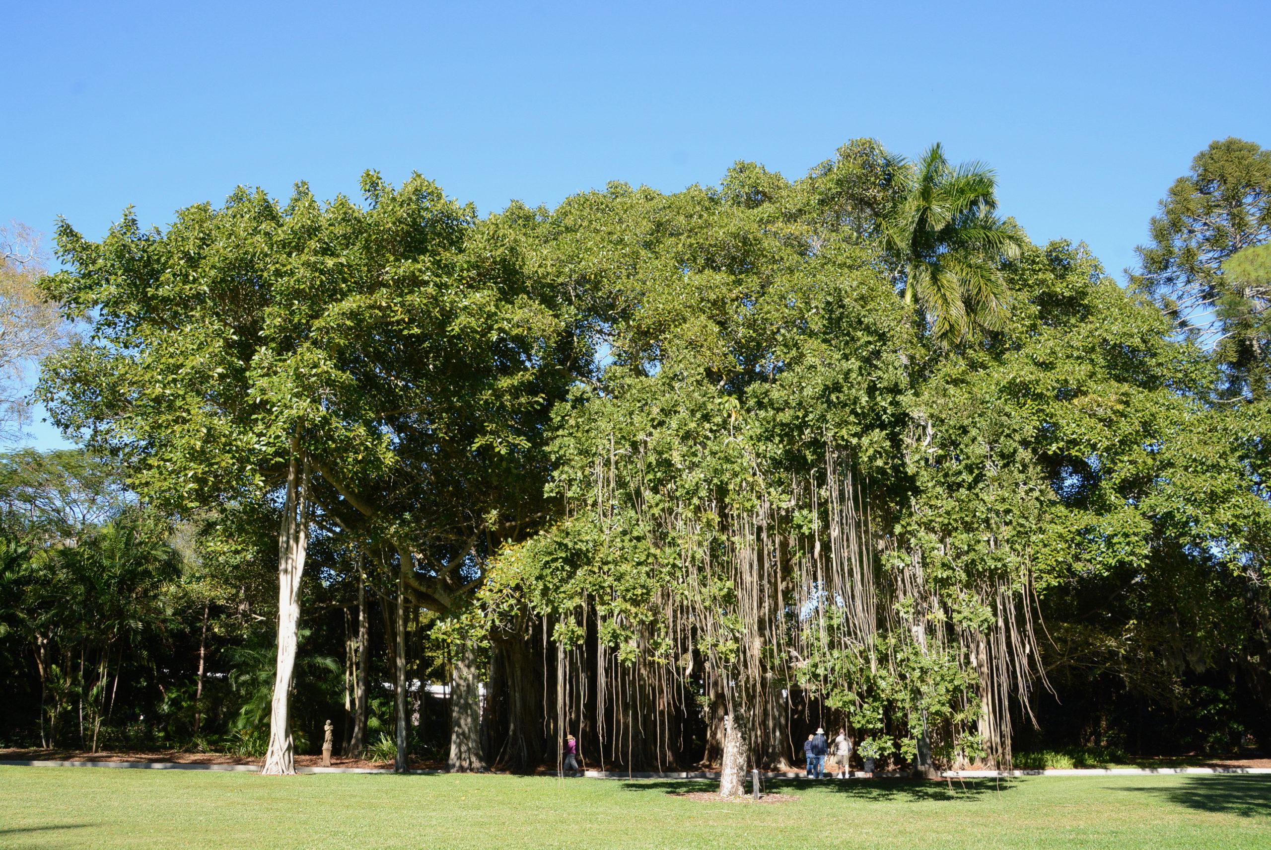 Der Park von The Ringling in Sarasota, Florad, mit prächtigen Wanderfeigen