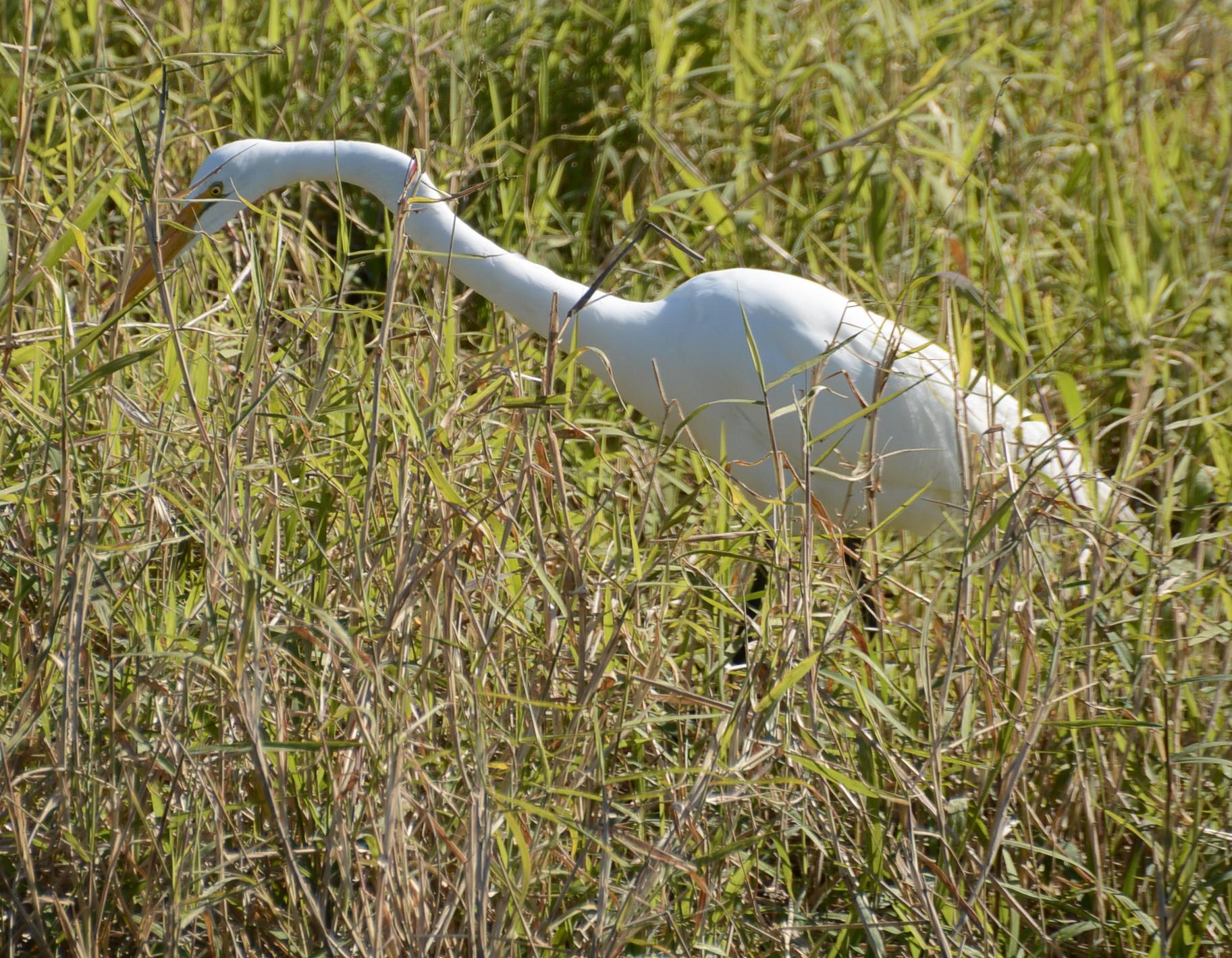 Ein schöner weißer Reiher im Mayakka State Park in Florida