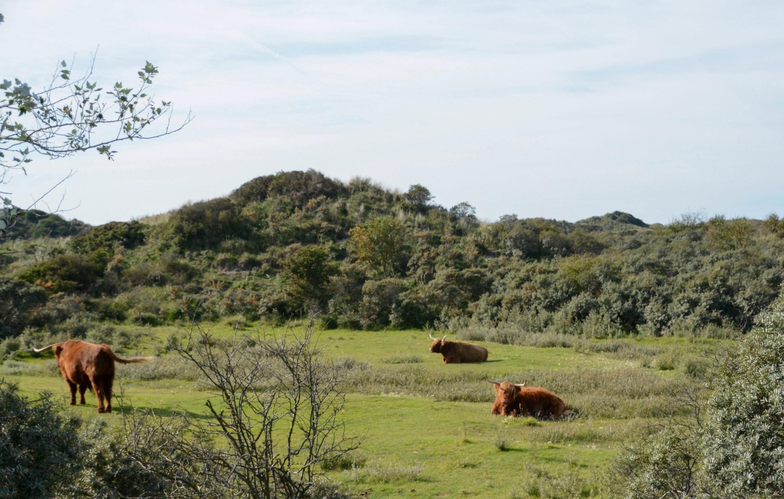 Wisente im Nationalpark Zuid-Kennemerland bei Bloemendaal aan Zee in den Niederlanden