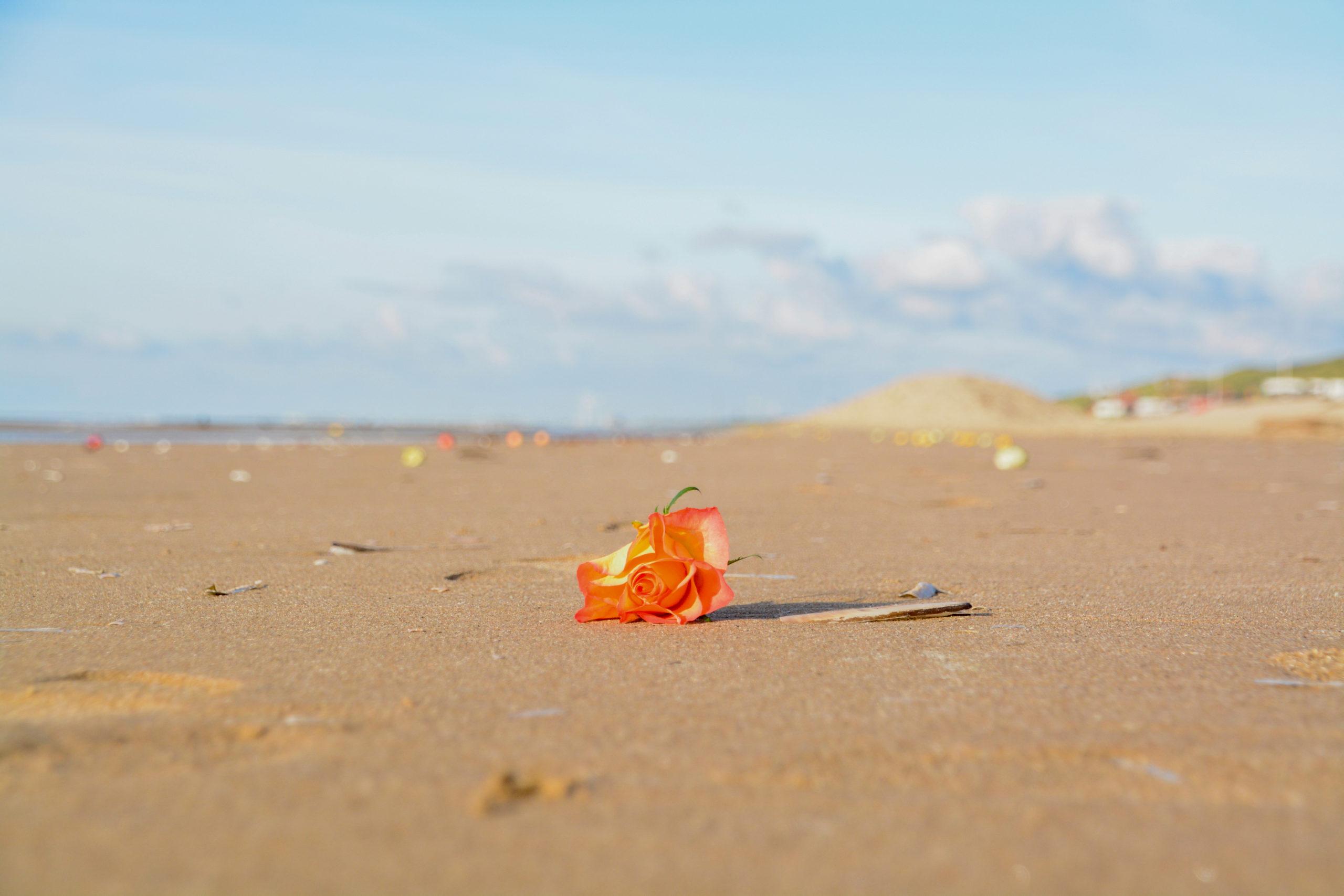 Eine einsame Rose auf dem Strand von Bloemendaal bei blauem Himmel
