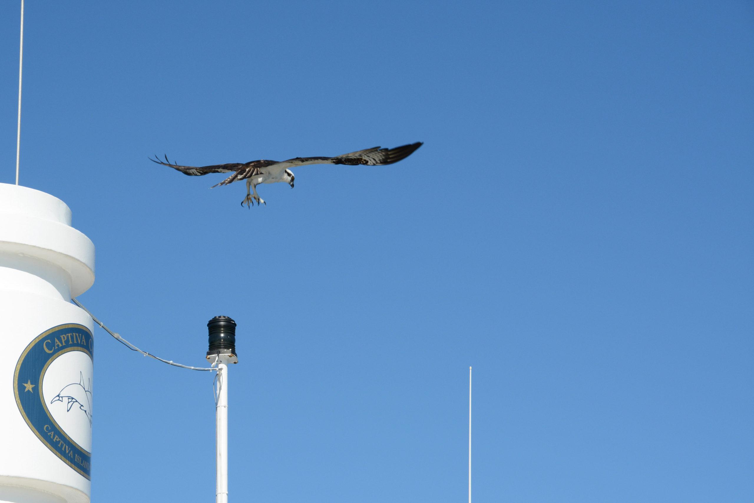 Anflug eines Seeadlers auf ein Boot von Captiva Cruises in Florida