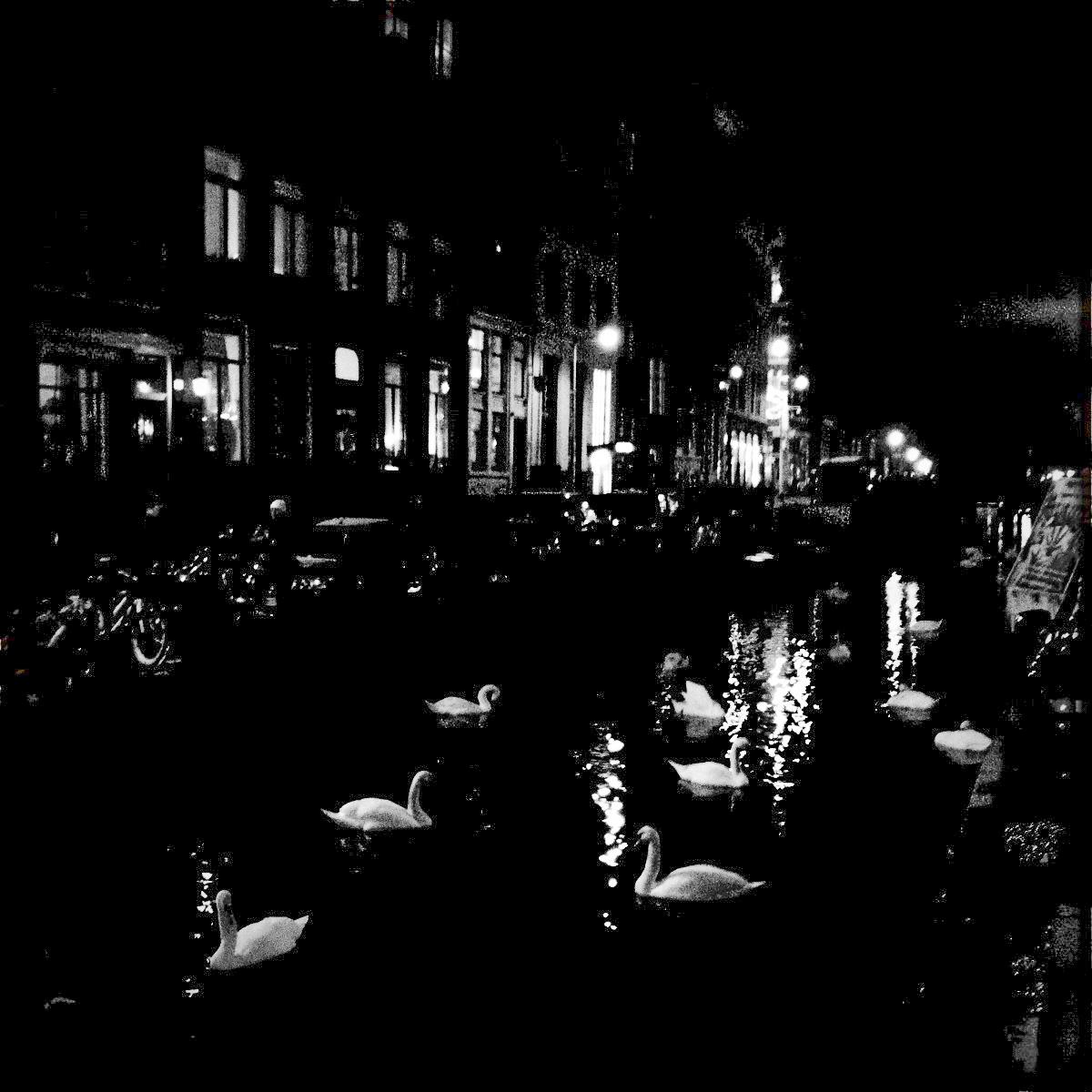 Schwäne auf dem Oudezijds Achterburgwal im Rotlichtviertel.