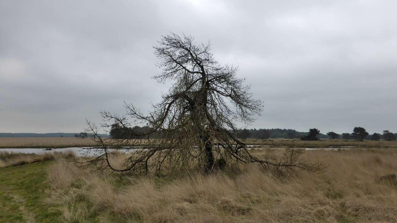 Die Heidelandschaft in Gelderland bei Arnhem mit einem knorrigen Baum