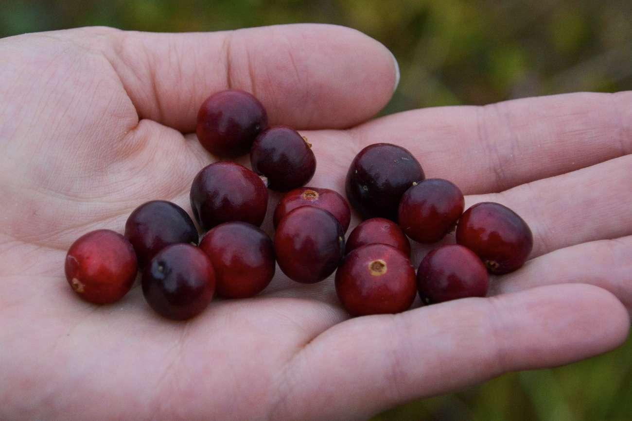 Cranberries gedeihen auf den niederländischen Wattenmeerinseln