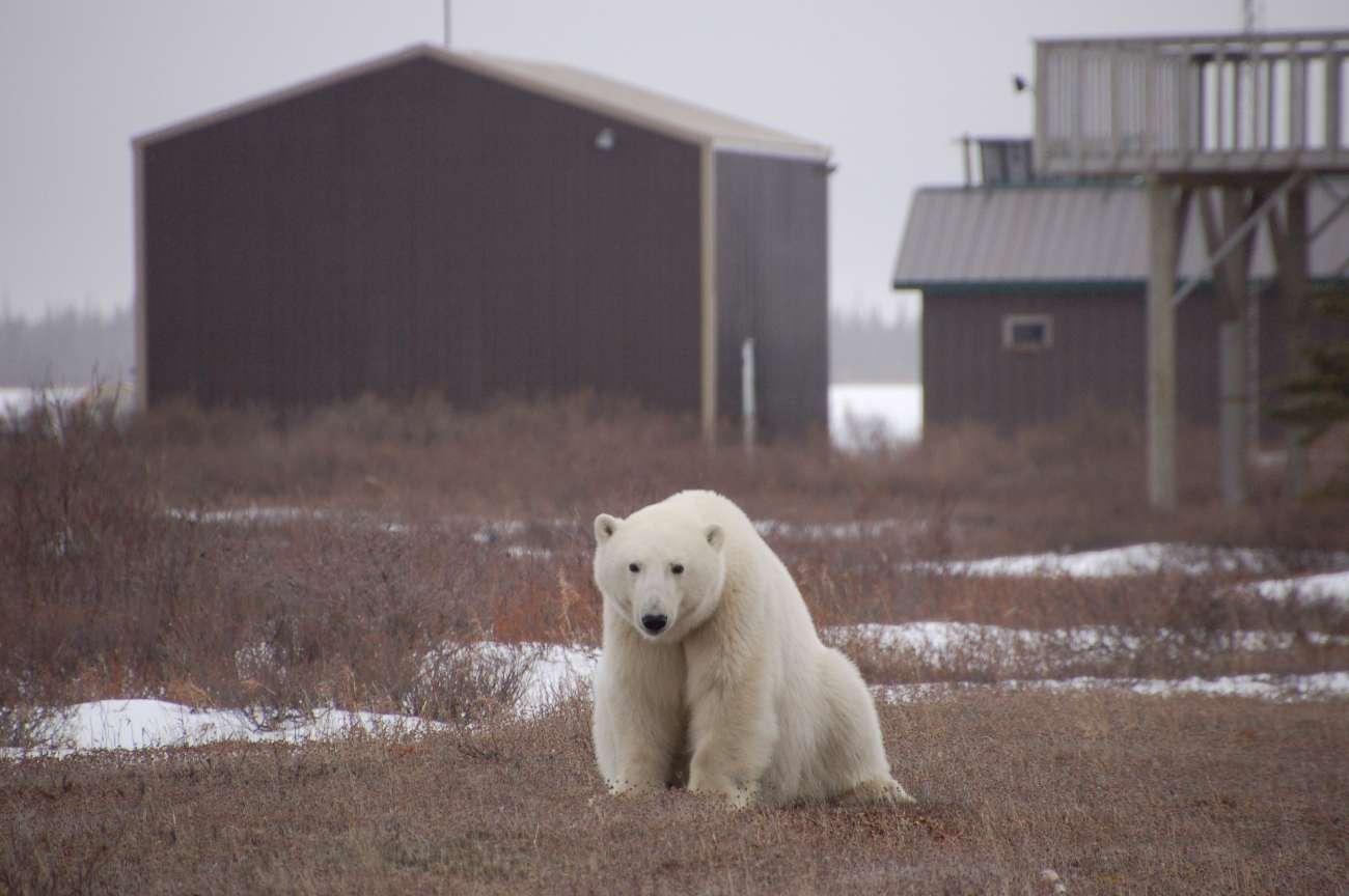 Ein Eisbär in der kanadischen Provinz Manitoba nahe eines Hauses