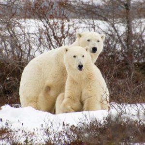 Eine Eisbärmutter mit Kind bei Churchill in der kanadischen Wildnis