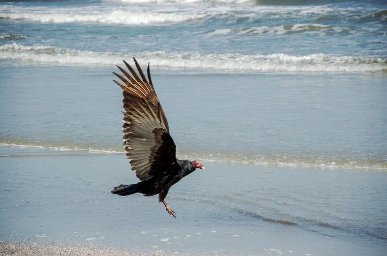 Ein Geier im Anflug auf den Strand von Cumberland Island