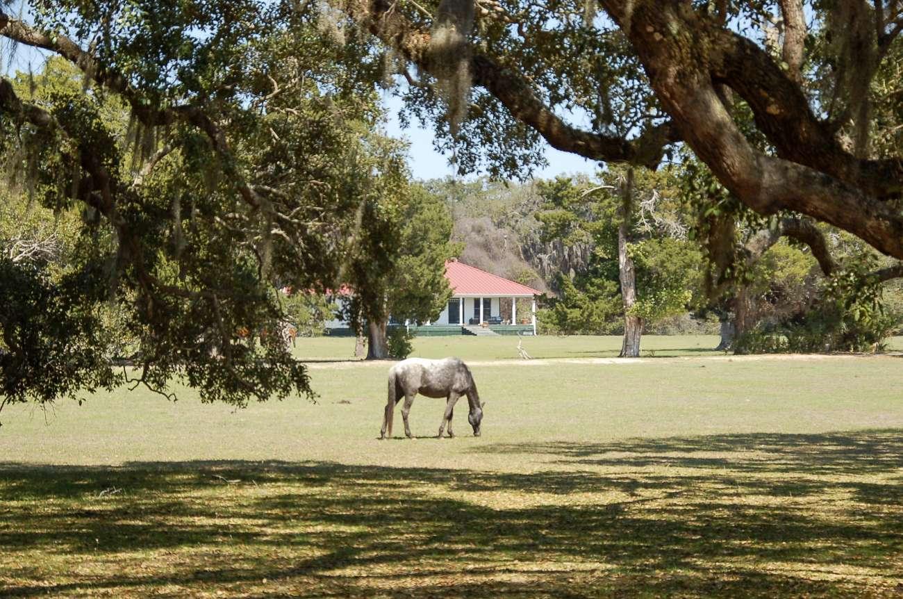 Wilde Pferde leben unter anderem auf Cumberland Island in Georgia