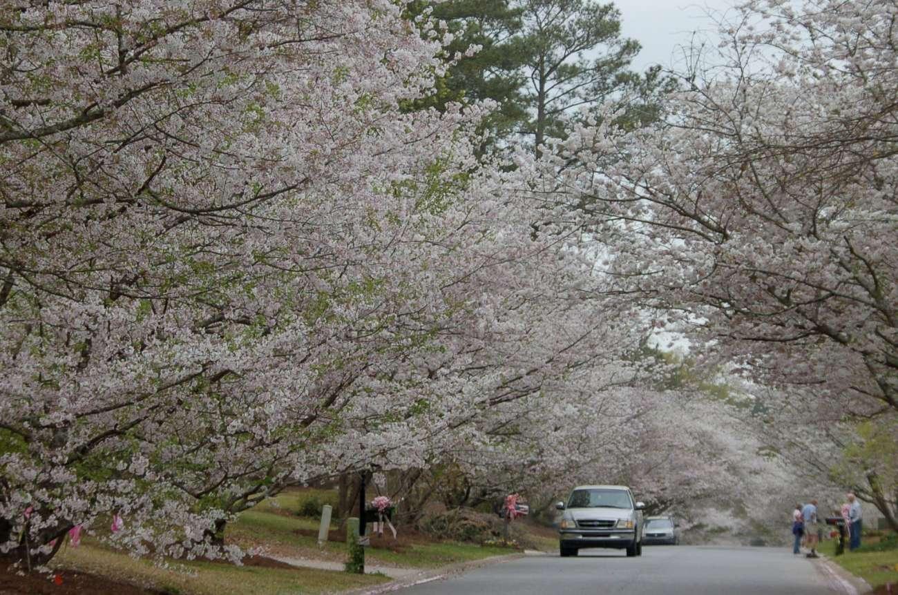 Kirschbäume in voller Blüte an einer ganzen Straße während Road Trip durch Georgia