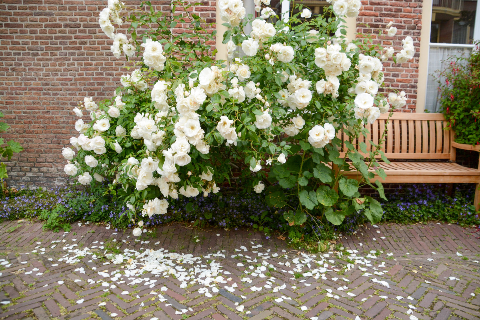 Ein Rosenstrauch mit Rosenblättern in der grünen Stadt Leiden