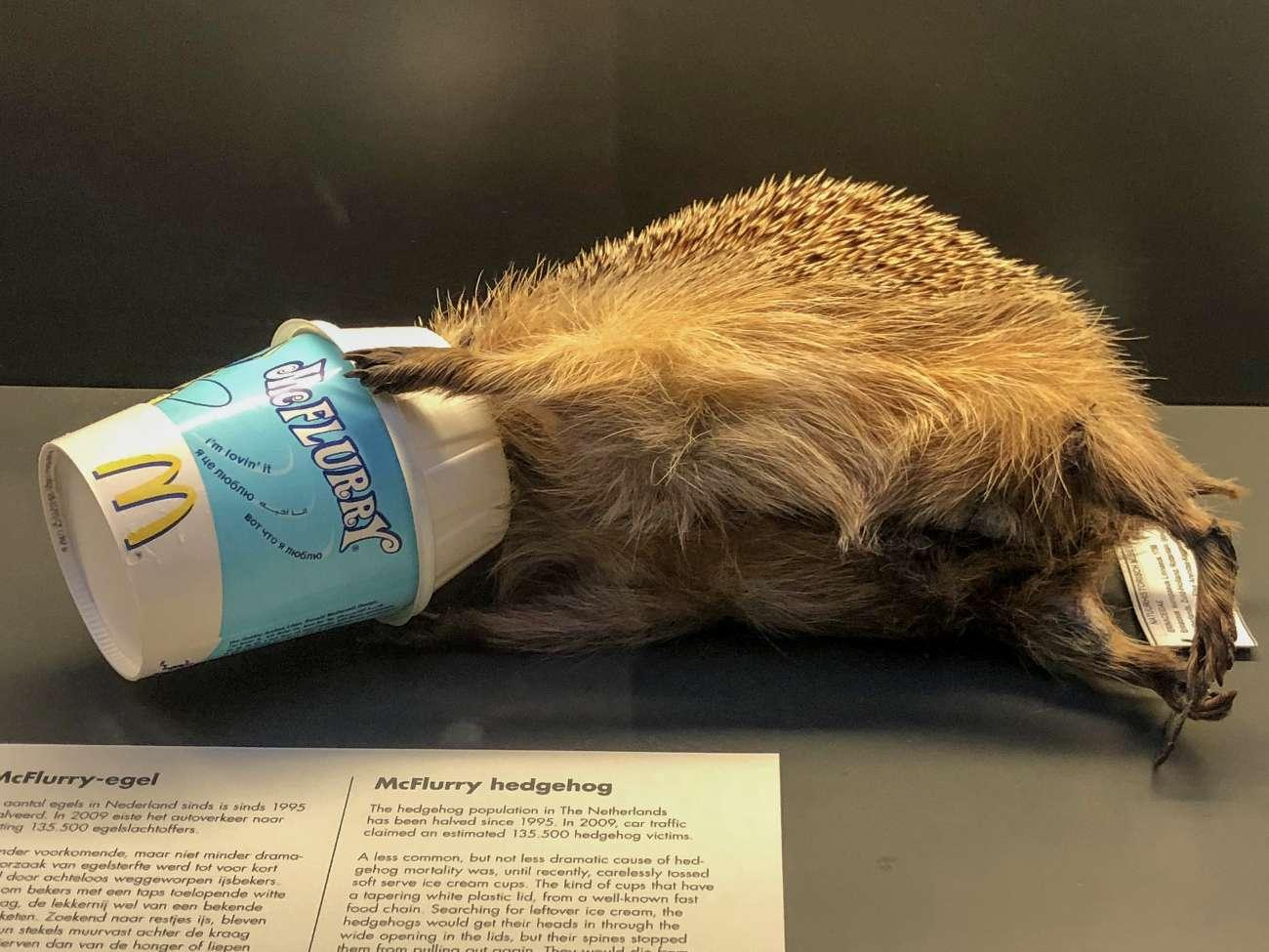 Ein Igel, der mit seinem Kopf in einem Becher mit McDonald's stecken geblieben und verendet ist im Natuurhistorisch Museum in Rotterdam.