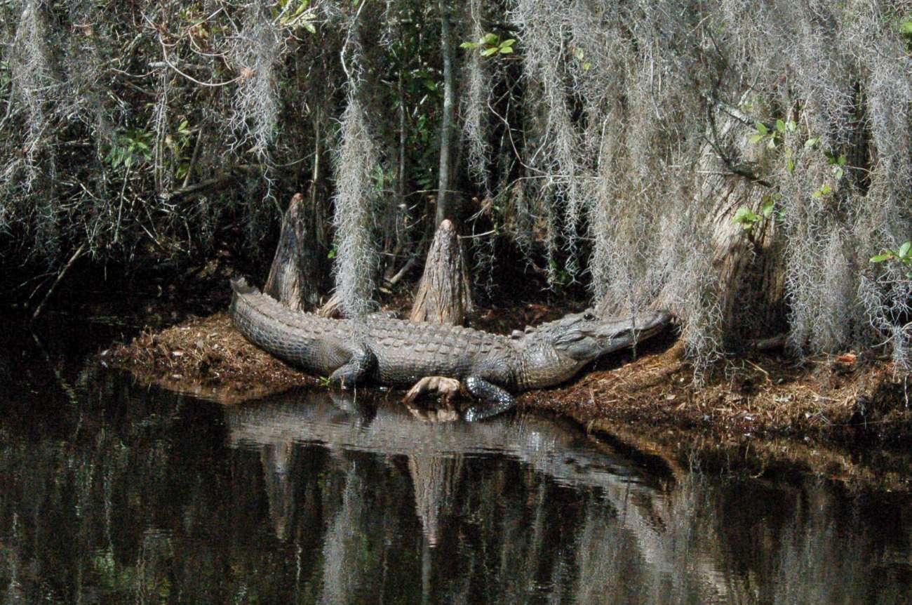 Ein Aligator lauert unter Spanischem Moos im Okefenokee Sumpf in Georgia