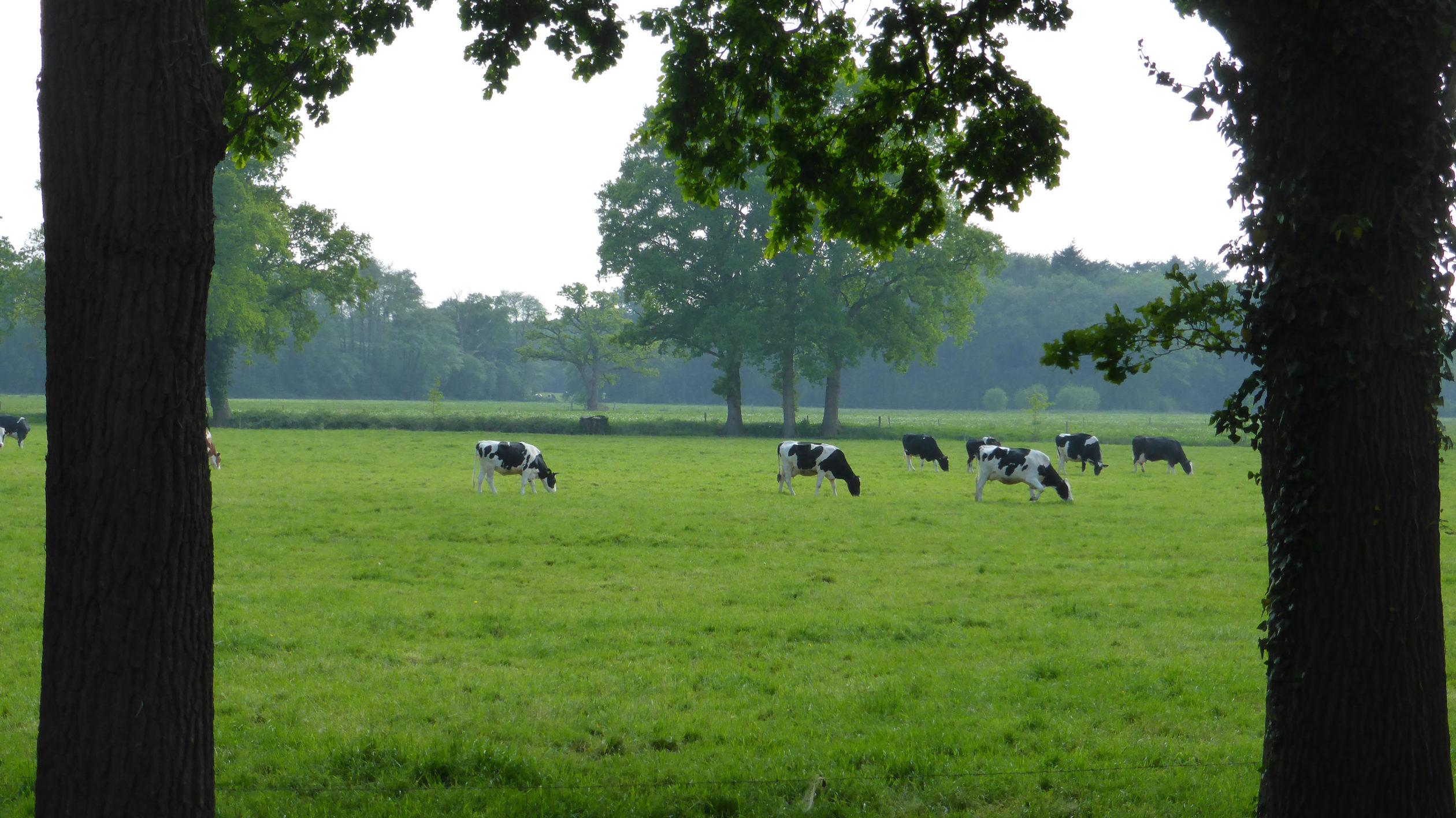 Eine Kuhweide in Overijssel, das auch als das andere Holland firmiert