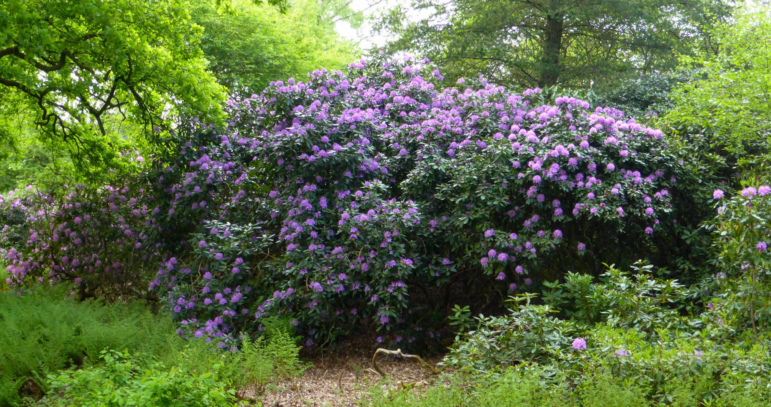 Ein riesiger Rhododendron in Overijssel während der Radtour durch das andere Holland