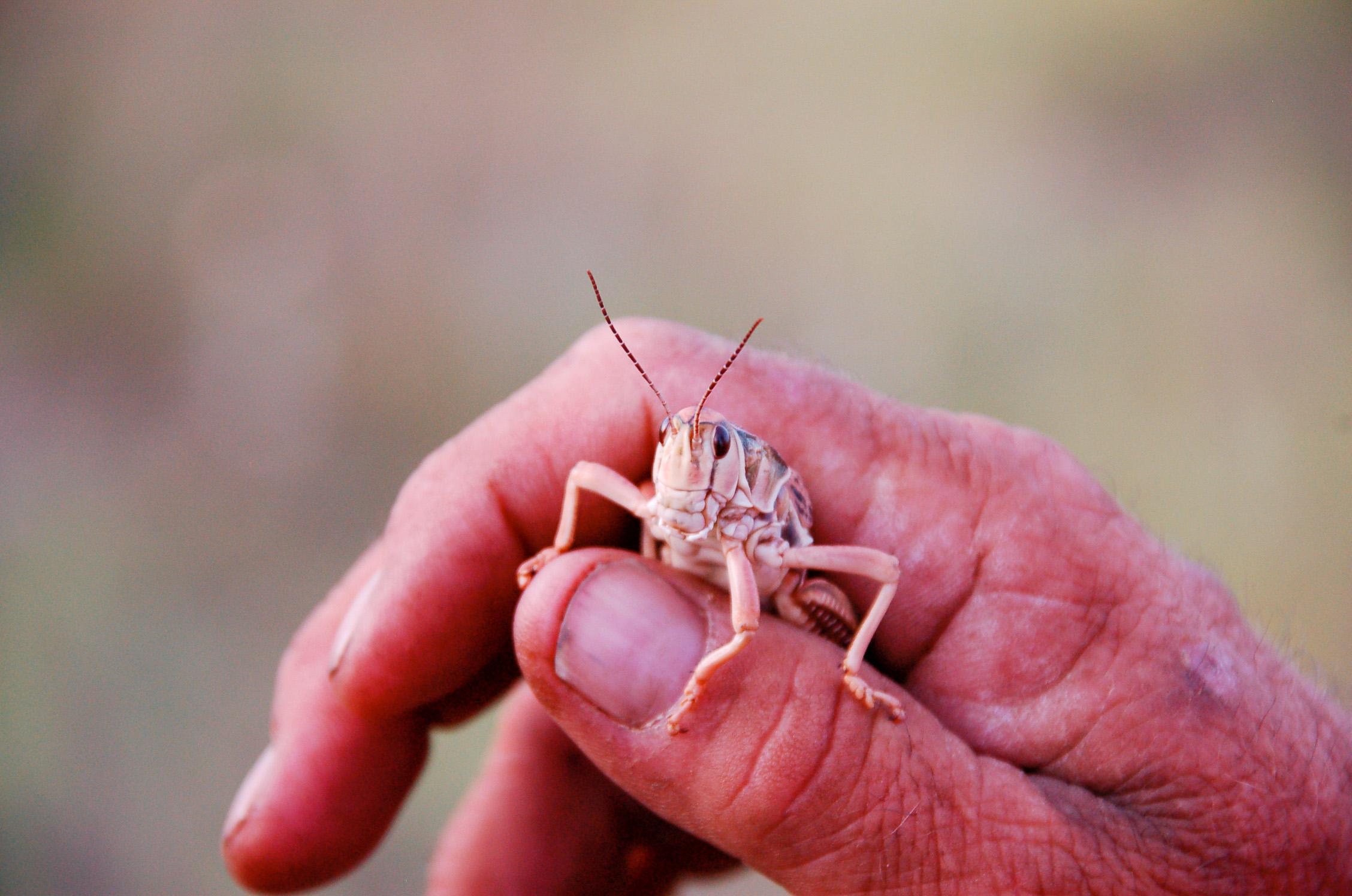 Riesenheuschrecken kommen häufig vor in Kansas und Oklahoma