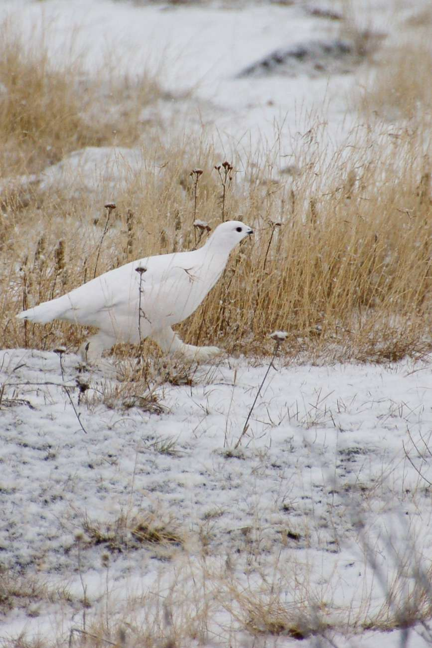 Ein Schneehuhn stromert durch die Wildnis von Manitoba.