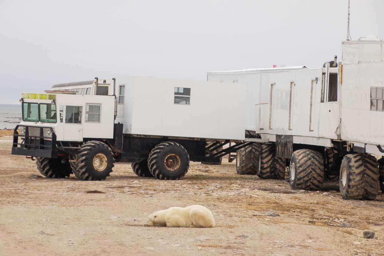 Die Eisbären an der Hudson Bay dulden die Tundra Buggys, mit denen Touristen umherkutschiert werden.