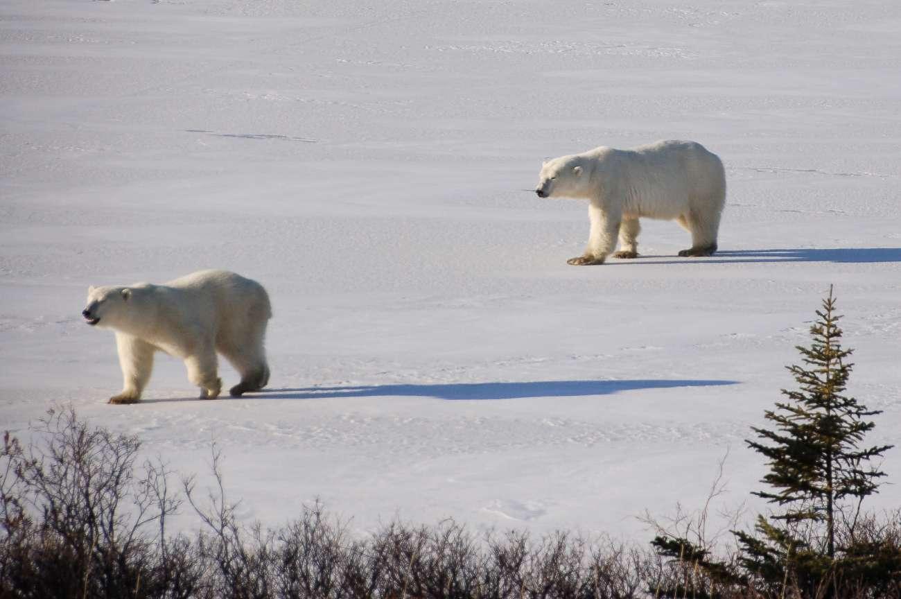 Zwei Eisbären stromern über die Hudson Bay in Kanada