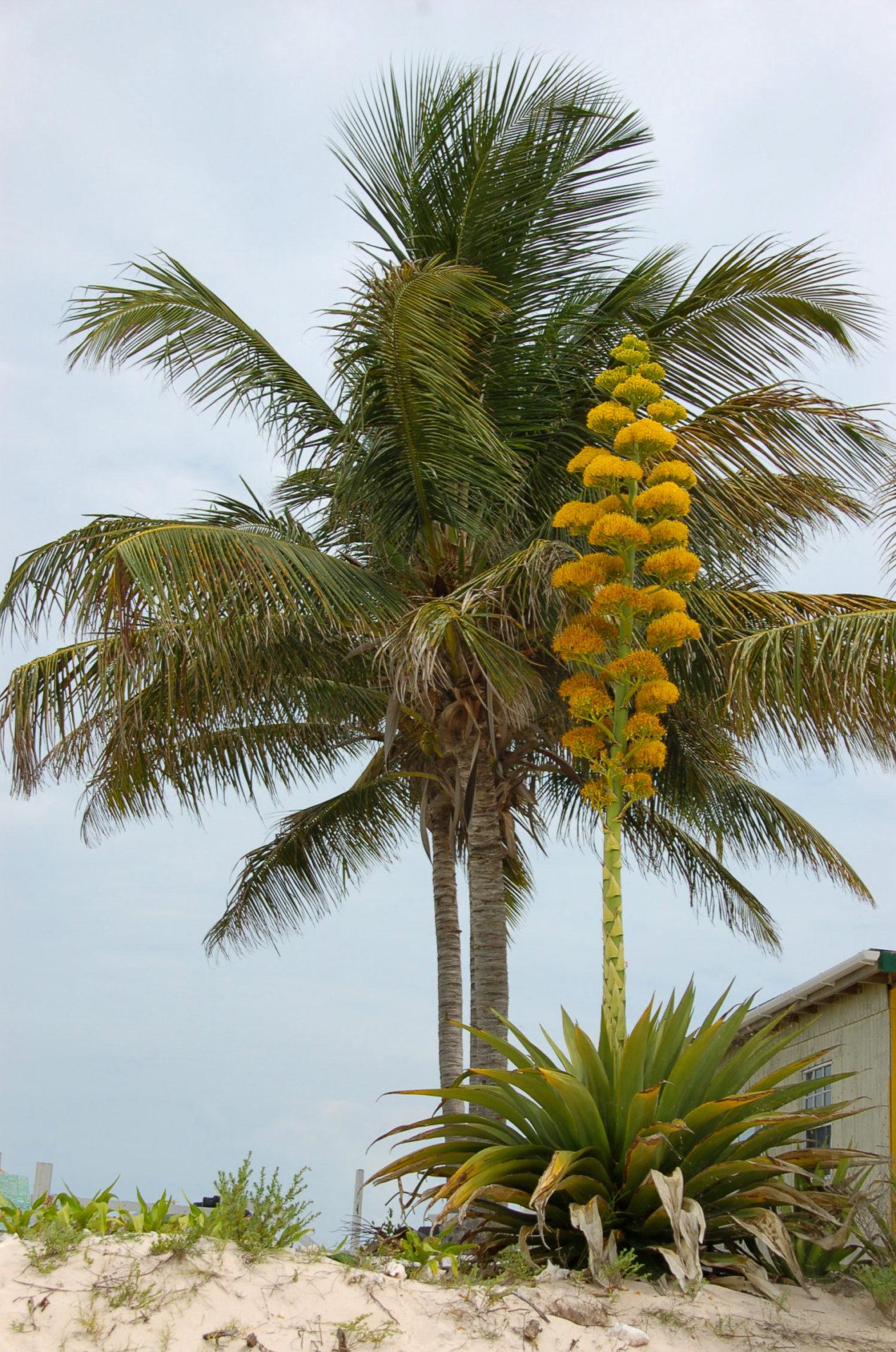 Palme und Agave gesichtet beim Segeln auf den Brisith Virgin Islands