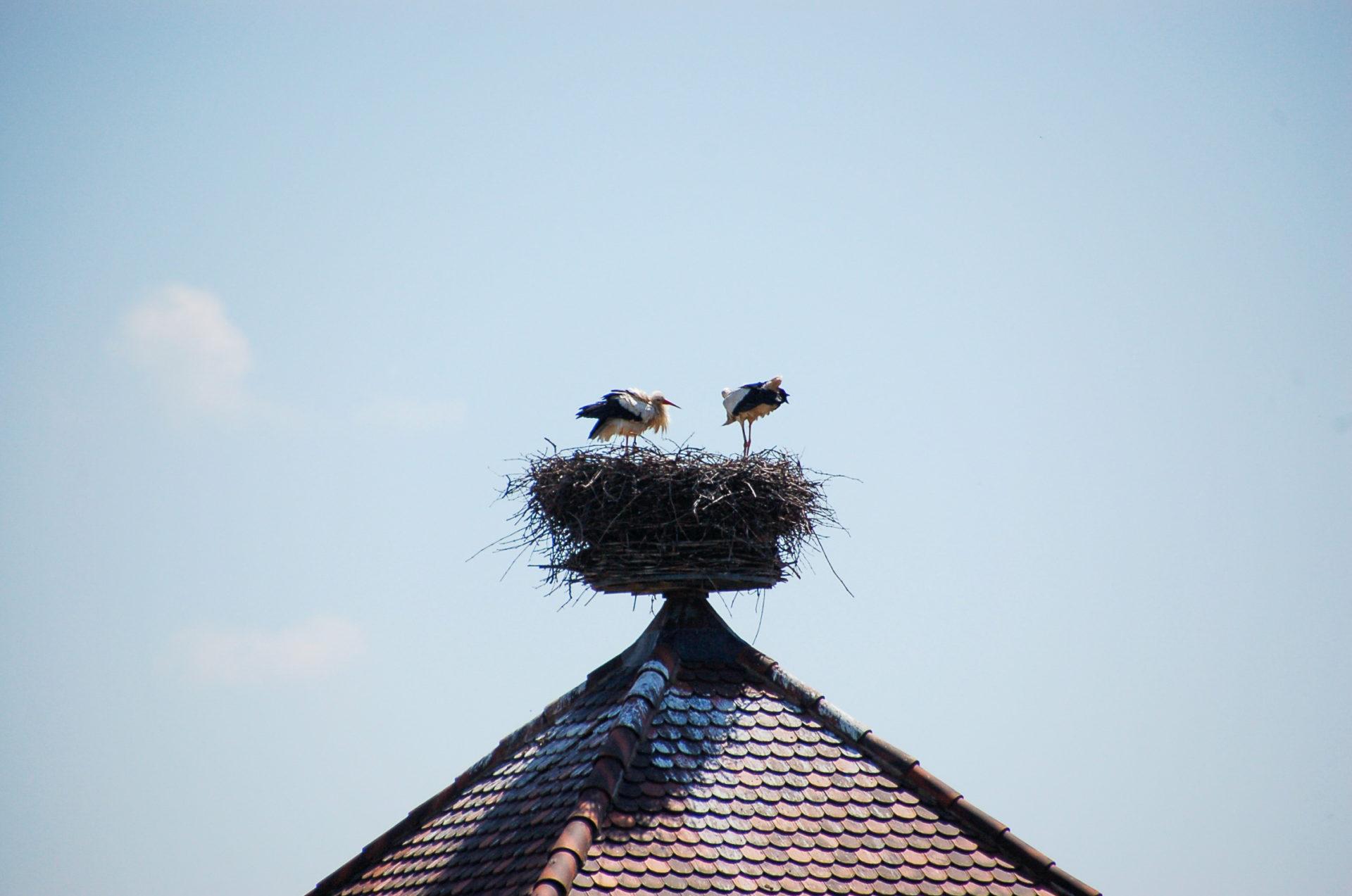 Störche im Nest in Katzenthal im Elsass