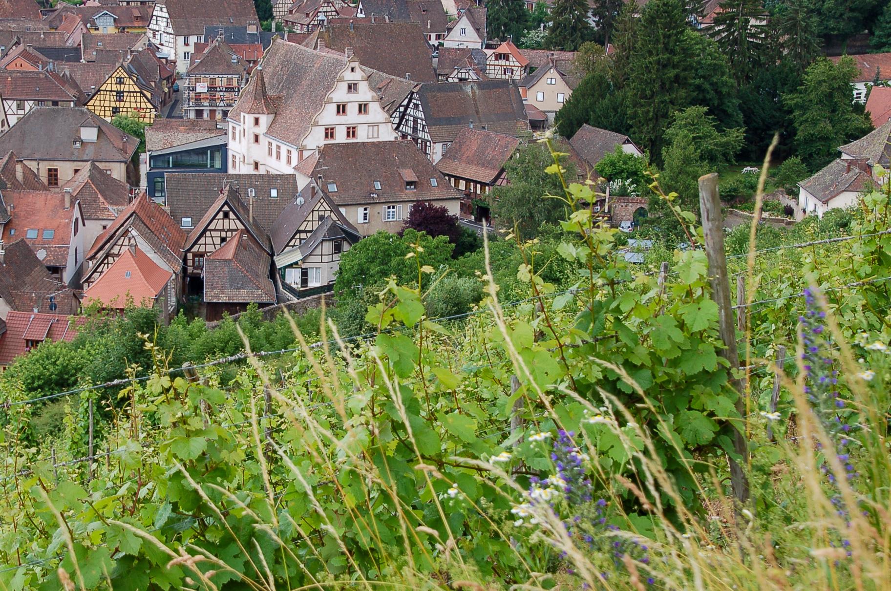 Weinberg im Elsass mit Blick auf Fachwerkhäuser