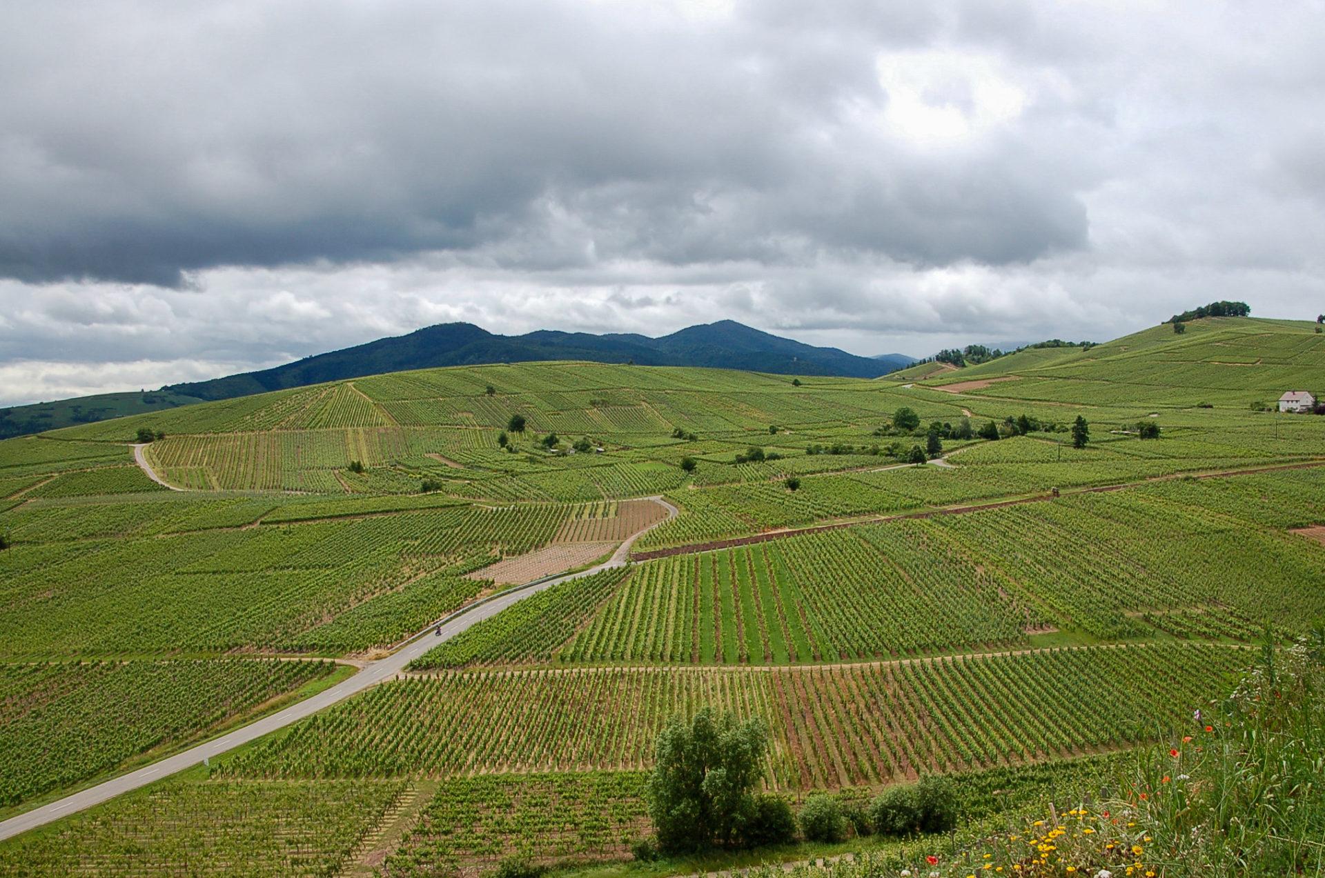 Miles aus Sideways hätte seine Freude: Weinberge an der Elässischen Weinstraße